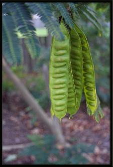 Ficuspods