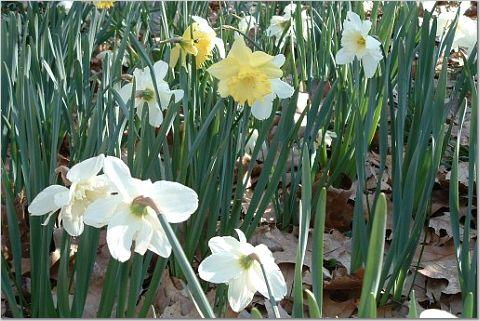 Daffodil2_3